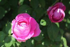 Those rose roses