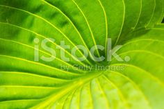 hosta leaf structure, background royalty-free stock photo