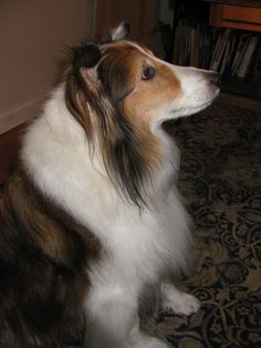Guinness: the noble, giant sheltie