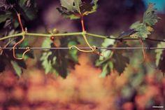 Vine leafs in sunlight // Feuilles de vigne au soleil #wine #vin ©Sebanado