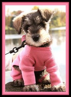 Mini Schnauzer puppy in her cute pink sweater, how adorable is that