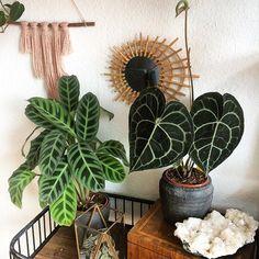 My beloved 70's mirror has finally found a home 💚 Now my anthurium can see her own beauty in the mirror 😍 • • • #plants #nature #botanical #houseplants #houseplantclub #houseplantjournal #addicted #crazyplantlady #urbanjunglebloggers #plantgang #hippie #boho #freespirit #bohosoul #plantsarefriends #plantsmakepeoplehappy #plantnerd #livingwithplants #planthoarder #ihavethisthingwithplants #plantparenthood #sorryicantmyplantsneedme #iamaplanthoarder #indoorjungle #urbanjungle #anthurium…