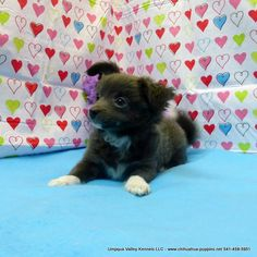 Chihuahua Breeder in Oregon ~ Chihuahua Puppies for sale