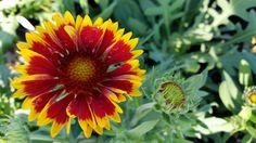 Gaillardia 'Goblin'. Blanket Flower.