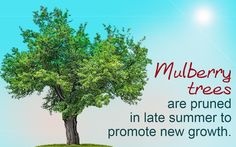 Mulberry is a genus of deciduous trees that are commonly found in the temperate and subtropical regions of Asia, Europe, America, and Africa. They are mainly grown for their edible fruits. It is not very difficult to prune them, provided you select the appropriate timing and the technique for it.