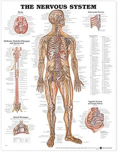 The Nervous System Anatomical Chart, 2015 Amazon Top Rated Charts & Posters #OfficeProduct