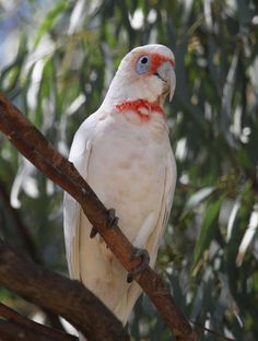 The Long-billed Corella - Cacua tenuirostris, is a medium-sized cockatoo. This species is normally found only in the extreme south-east of Australia. Grass seeds are the preferred diet of Long-billed Corellas, particularly those from grass crops. Photo by Birds Central.