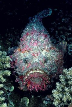 Reef Stonefish (Synanceia verrucosa) / The fin spines of this amazingly well-camouflaged fish contain highly toxic venom.