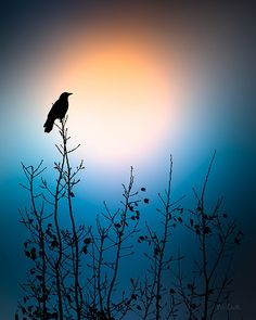 American CRow Sunrise - Original fine art nature wild bird photography by Bob Orsillo.  Copyright (c)Bob Orsillo / http://orsillo.com - All Rights Reserved. Buy original fine art nature wild bird photography at www.boborsillo.com