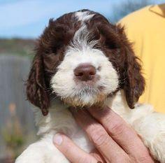 Mini Springerdoodle Puppies | Springerdoodle, Sproodle Puppies mini & standard, Dog Breed Info ...