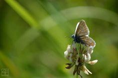 Bläuling Falter Natur Schmetterling Wald