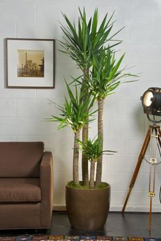 Yucca Cane - a low-maintenance houseplant with intriguing aesthetic appeal.