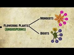 Monocots vs Dicots Explained