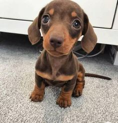 Doxie Puppies, Dachshund Funny, Weenie Dogs, Dachshund Love, Cute Dogs And Puppies, Dapple Dachshund, Doggies, Chihuahua Dogs, Pet Dogs