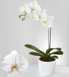 Ahhh the Beautiful & Delicate phaleonopsis Orchid
