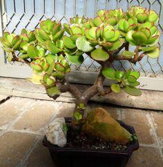 lucky-crassula-bonsai.jpg (681×700)