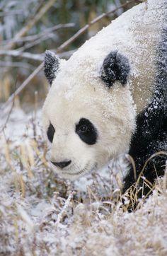**Giant panda