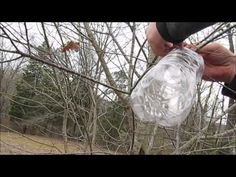Sap Collecting without Tapping the Tree   East Woodland Survival