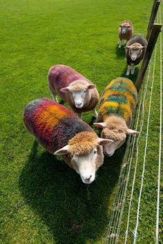 Lábon festett birkák.  Dyed wool.