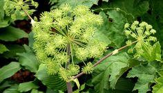 Gamle nordiske urter: Kvan og etageløg | Haveselskabet