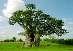 It will be no surprise to anyone that nature is a big source of inspiration for those interested in Bonsai. After all, the ultimate goal of growing a Bonsai is to create a miniature version of nature. Green Star Juicer, Baobab Powder, Baobab Tree, Edible Plants, Fantastic Art, Amazing, Hemp Seeds, Source Of Inspiration, Tree Of Life