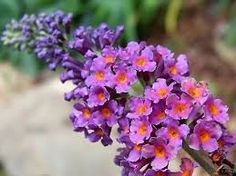 Image result for butterfly bush