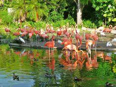 American Flamingo Exhibit At The Zoo S Entrance Miami Florida