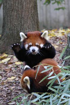 "magicalnaturetour: ""Panda Attack! (by Mark Dumont) """
