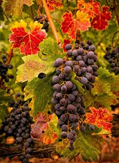 Autumn harvest of grapes on the vine. Ready to be transformed into delicious wine. Harvest Time, Fall Harvest, Wine Vineyards, Vides, Seasons Of The Year, In Vino Veritas, Photography Courses, Wine Country, Vitis Vinifera