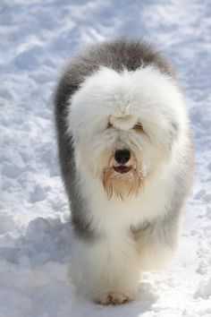 Old English Sheepdog - American Kennel Club