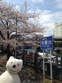 クマ散歩:大岡川を品行方正なクマが上る2 (桜木町) The Bear took a walk up the Ooka River!♪☆(^O^)/
