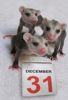 Baby opossums. Photo by Alison Hermance