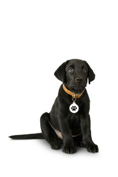 Black labrador retriever puppy 5 months old sitting on white background Black Labrador Retriever, Retriever Puppy, Labrador Puppies, Corgi Puppies, Dog Quotes, Animal Quotes, Dog Grooming Business, Black Lab Puppies, Black Labs