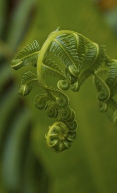 I know it's a fern frond, but they're so beautiful and delicate. I have so many ferns, and they're all special. All Nature, Amazing Nature, Science Nature, Nature Plants, Green Nature, Fern Frond, Tree Fern, Magic Garden, Fotografia Macro