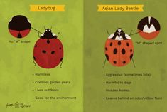 Asian Lady Beetles: Where They Came From and How to Get Rid of Them
