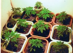 Learn how to grow cannabis. The perfect class for someone who wants to learn how to be a grower for the medical and recreational cannabis industry.