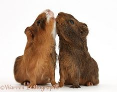 Young red agouti Guinea pigs reaching up