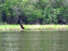 "Marathon River Rowing; ""Opera Bear""  I scared him away by singing opera!"