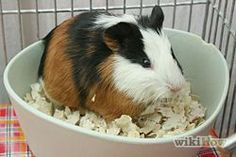 Potty Train a Guinea Pig Step 3 Version 2.jpg                                                                                                                                                                                 Plus