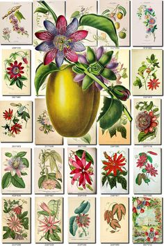 Collection of 250 vintage images Bluecrown Passion flower botanical picture High resolu Vintage Pictures, Vintage Images, Google Drive, Decoupage, Passion Flower, Antique Maps, Online Gallery, Altered Art, Etsy