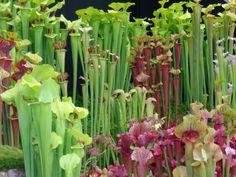 Pitcher plants!