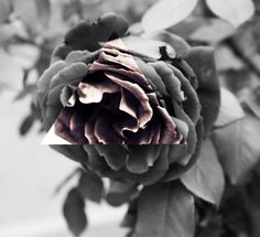 #Red rose. By www.crypticvisionphotography.com Succulents, Rose, Flowers, Plants, Pink, Succulent Plants, Plant, Roses, Royal Icing Flowers
