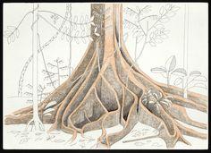 Francis Hallé . contreforts d'un arbre non identifié, Forêt de Rio Manu en Amazonie péruvienne