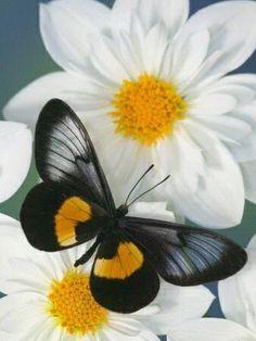 Miyana Meyeri Butterfly on Flowers nature Flying Flowers, Butterflies Flying, Butterfly Kisses, Butterfly Flowers, White Flowers, Butterfly Painting, Butterfly Wallpaper, Butterfly Pattern, Beautiful Bugs