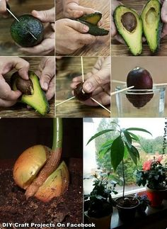 Grow an avocado tree!