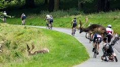 The stag collided with competitor Shane O'Reilly as he cycled in Phoenix Park