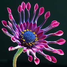 ✯ Osteospermum — a beauty from Africa, related to sunflowers
