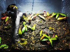 Will it bite me??? #carnivorousplant  #carnivorousplants by ewan_paima