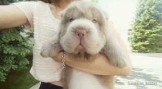 Meet Tonkey, an adorable shar-pei puppy looks like a cuddly teddy bear. #cute #puppies