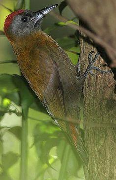 Olive Woodpecker, Tsitsikamma Lodge
